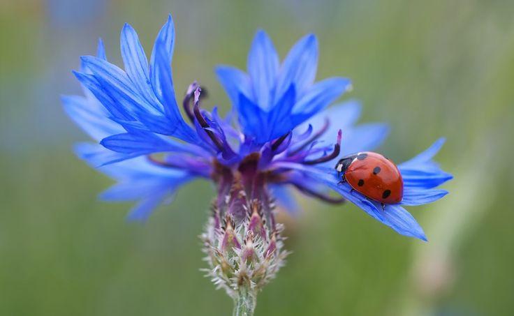 Kornblume, Marienkäfer, Siebenpunkt, Blau, Rot, Blume