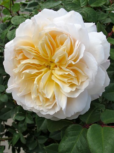 In The Garden All That Is Beautiful| Serafini Amelia| ~Rosa 'Crocus Rose'