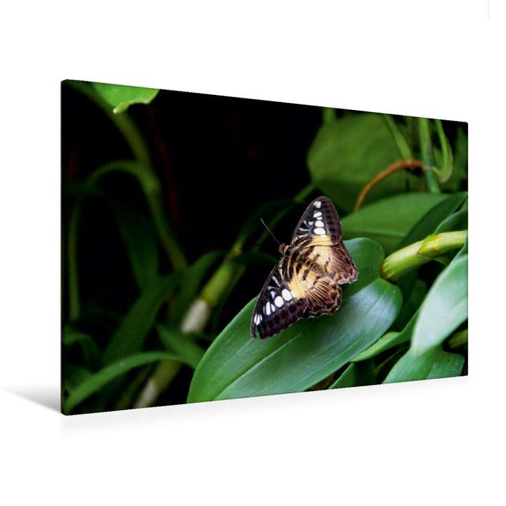 Brauner Segler (Premium Foto-Leinwand 45x30 cm, 50x75 cm, 90x60 cm, 120x80 cm)