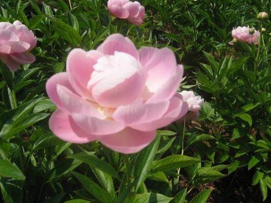 Jaro v růžové barvě: voňavé pivoňky