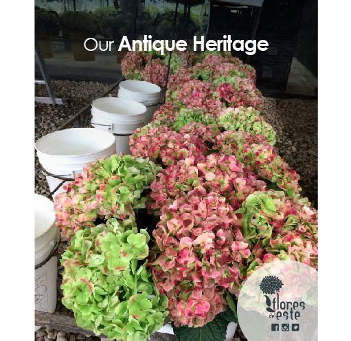 our Antique Heritage#hydrangeas #flowers #shine #love #homedeco #springflowers