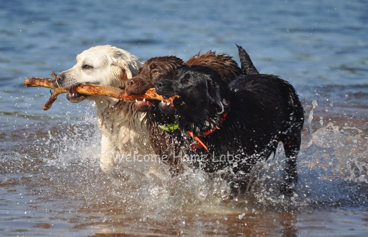 Labrador Puppies for Sale MN | Yellow Lab Puppies Minnesota ...
