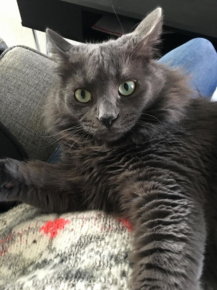 Cuddling with my boyfriends cat - http://cutecatshq.com/cats/cuddling-with-my-boyfriends-cat/