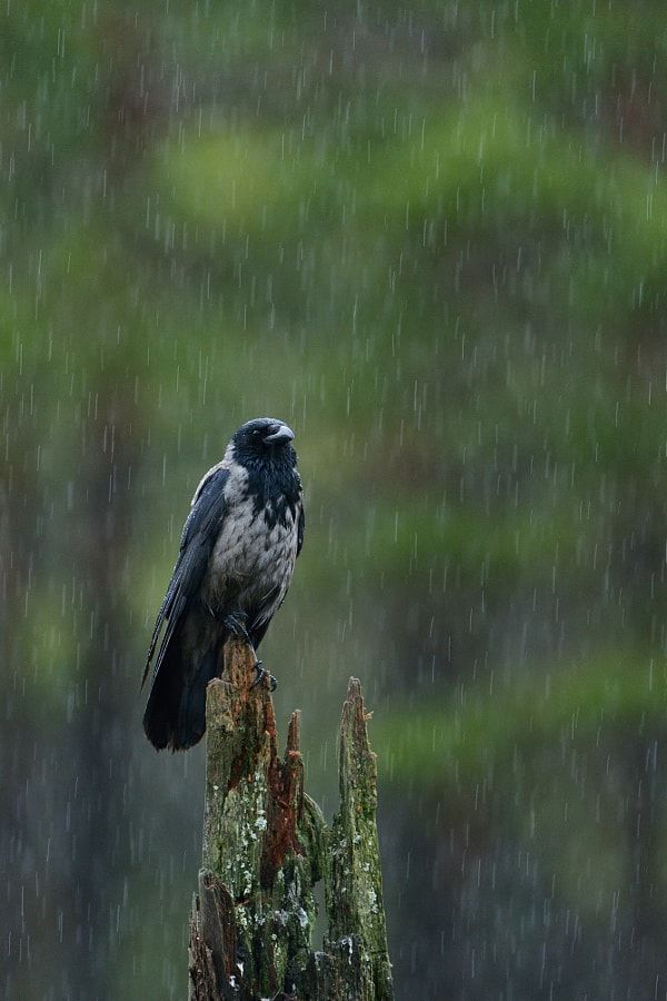 Hooded crow in the rain by Erik Mandre - Photo 131478141 / 500px