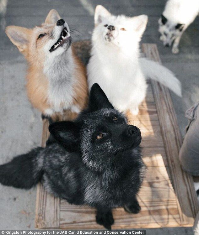 Scientists Find A Gene In Foxes That Is Linked To Aggression Pet Fox Animals Cute Animals