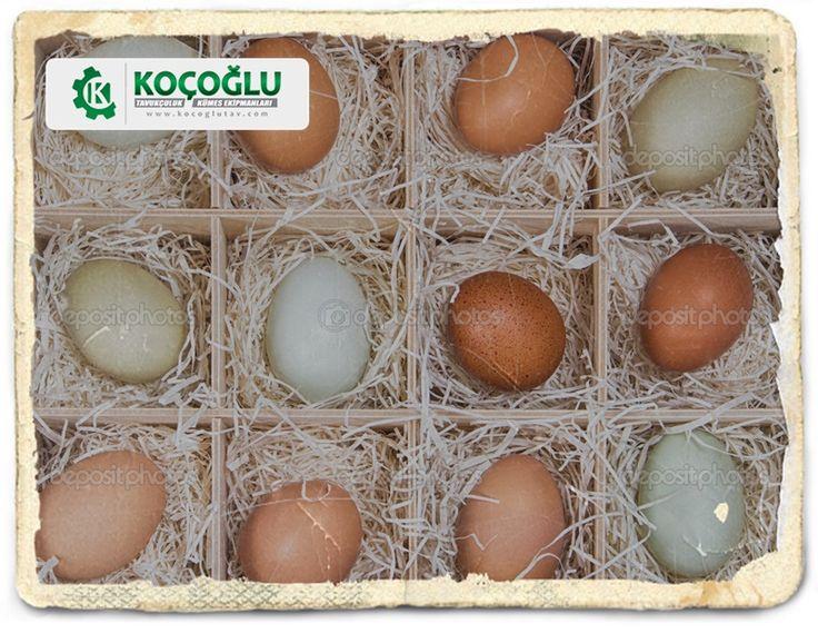 Yumurta tavuğu türleri. Hangi tür tavuk ne kadar verim verir? Detaylar sitemizde http://www.yarkaburada.com