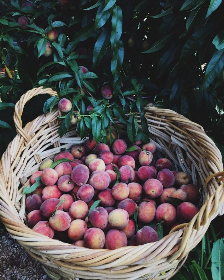 Throwback pic to our backyard peach harvest 2 years ago Miss those trees so much! So our off island fruit picking excursion was a bust today-all nearby farms were closed for ripening and all rental cars were taken at least we tried! Island life can be tricky but on the flip side today is actually one of the nicest of the summer #wholeavesnantucketinthesummer #thisfruitlover #willtravelforfruit #islandlife #beachlife #fareisle #nantucket #growyourown #peaches