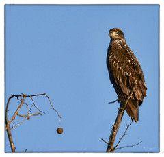 Juvenile Bald Eagle at Duck Creek Conservation Area
