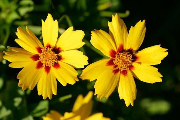 CoreopsisGardens Television, Water Gardens, Outdoor, Coreopsis So Pretty, Glorious Flower, Coreopsis Grandiflora, Flower Beds, Backyards Flower, Yellow Flower