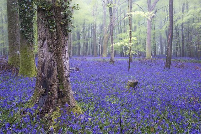 イギリスの春を知らせる青い絨毯、ブルーベルの森が美しすぎる! もっと見る