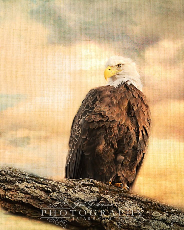 Julia, a female bald eagle in Shiloh, Tennessee, enjoys a time of rest  after sitting on her nest for hours.