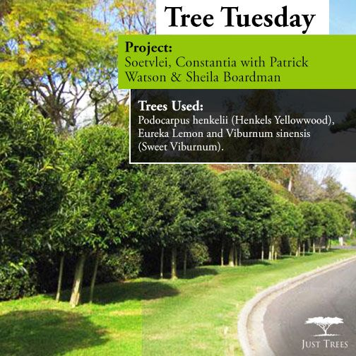 #TreeTuesday today and we are exploring one of our recent projects we worked on with landscape designer, Heimo Schulze Gardens at Frederick Selous Avenue in Constantia. We were asked to deliver 9 of our 100L Ilex mitis so that they could beautify their streets and add to the existing hedge lining of the street. The team's hard work paid off as the end result was a beautifully striking feature.