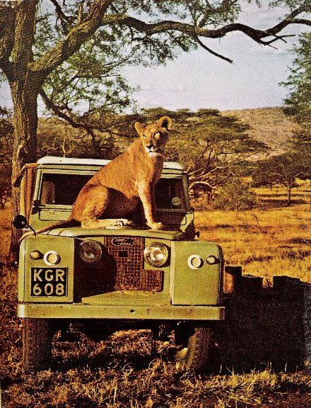 Lion and a Land Rover