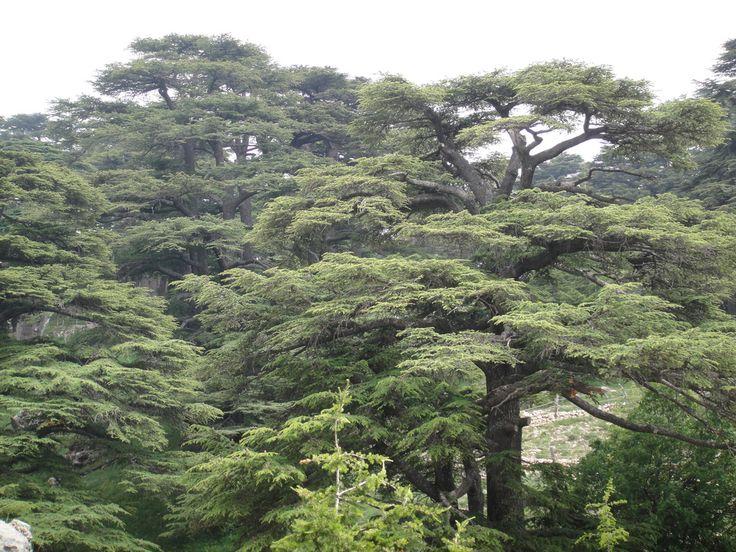 THE BEAUTY OF LEBANON - CEDAR OF THE LORD, BEAUTIFUL
