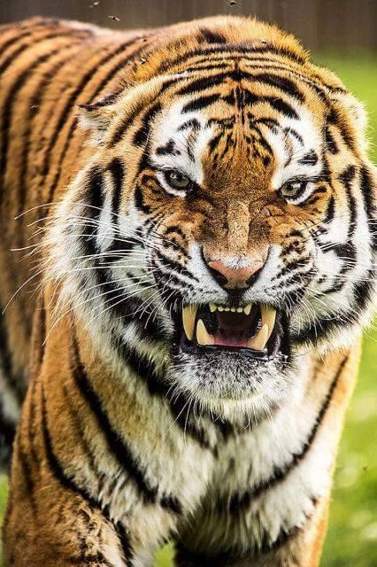 angry tiger photos - photo #32