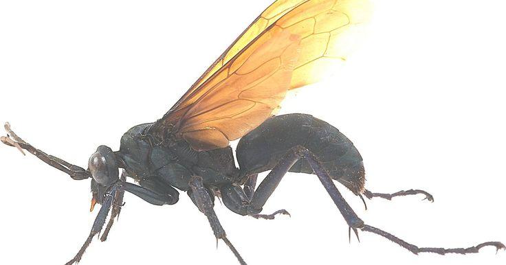 Cómo matar una avispa negra y grande. La avispa excavadora negra (especie Sphex pensylvanicus) es un insecto benéfico, pues mata insectos nocivos, como saltamontes, grillos, escarabajos, saltamontes y cigarras. Los amantes de los insectos las consideran muy hermosas, con sus cuerpos negros y largos, de 1 a 2 pulgadas (2,54 a 5,08 cm) de longitud, y sus alas iridiscentes de color negro ...