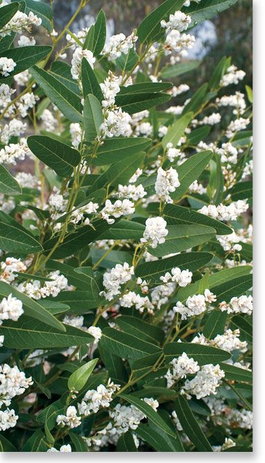 Hardenbergia 'White Out'  I planted four meadow sages at the base of this vine to bring year round interest to the site