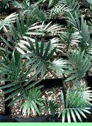 Encephalartos Cerinus Seedlings            Waxen Cycad         S A no 14,12