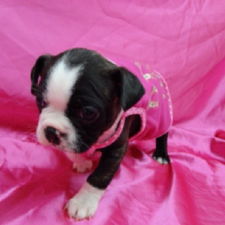 Bugg puppy! It's a Boston Terrier and Pug mix!
