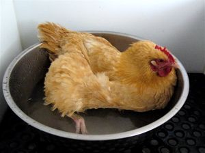 The Chicken Spa - egg bound or sickly hens get a special epsom salt bath that can save their lives