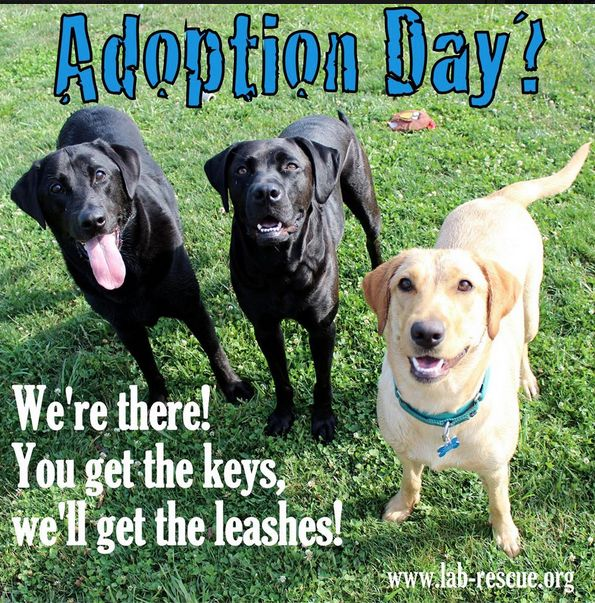 Join Lab Rescue for an adoption event on Sunday morning in Burke, Virginia, to meet the (wo)man of your dreams. You can find all of the details at www.lab-rescue.org!   Currently expected to be there (subject to change): Ali, Buddy #5, Buddy#6, Colin, Cookie, Duke #3, Duke#5, Empire, Harley, Langston, Marley, Moe, Nibbler, Odin, Peanut, Polo, Reid, Samuel, Shyla, Stormy, Summer, and Thunder & Sparks.
