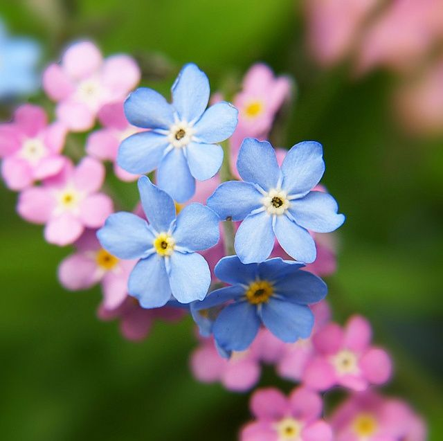 908 best pina vija gls images on pinterest draw drawing and gardens forget me nots is the september birth flower which represents patience daintiness and remembrance mightylinksfo