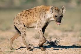 de gevekte hyena wordt ongeveer 60 tot 70 kilo. hij woond in   grote delen van Afrika ten zuiden van de Sahara. hij eet van alles bijv. grote zoogdieren, aas, hazen en  vogels. en hij wordt ongeveer 40 jaar.