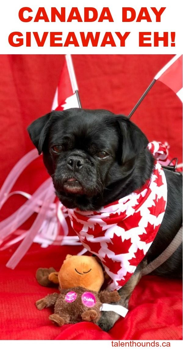 Canada Day Giveaway Eh Giveaway Canada Day Pug Love