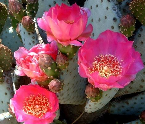 Beavertail Cactus is easy to grow in most California gardens. It will grow in fairly cold climates, desert climates, or coastal climates.