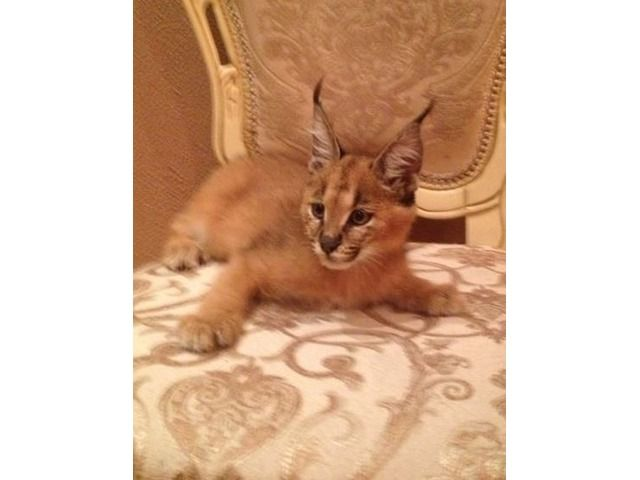 listing Serval kittens , Caracal and Ocelot kitt... is published on Free Classifieds USA online Ads - http://free-classifieds-usa.com/for-sale/animals/serval-kittens-caracal-and-ocelot-kitten-for-sale_i25381