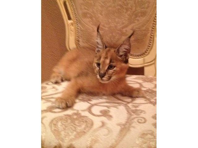 Ocelot Cat For Sale Ontario
