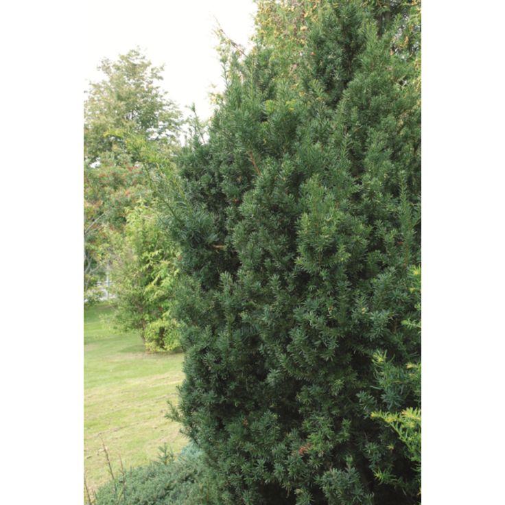 En fantastisk vintergrønn hekkplante med opprett, kompakt, søyleformet vekst, som takler mye skygge og halvskygge. Tåler hard beskjæring. Bør kalkes om høsten. 'Hillii' setter sjelden bær. ...