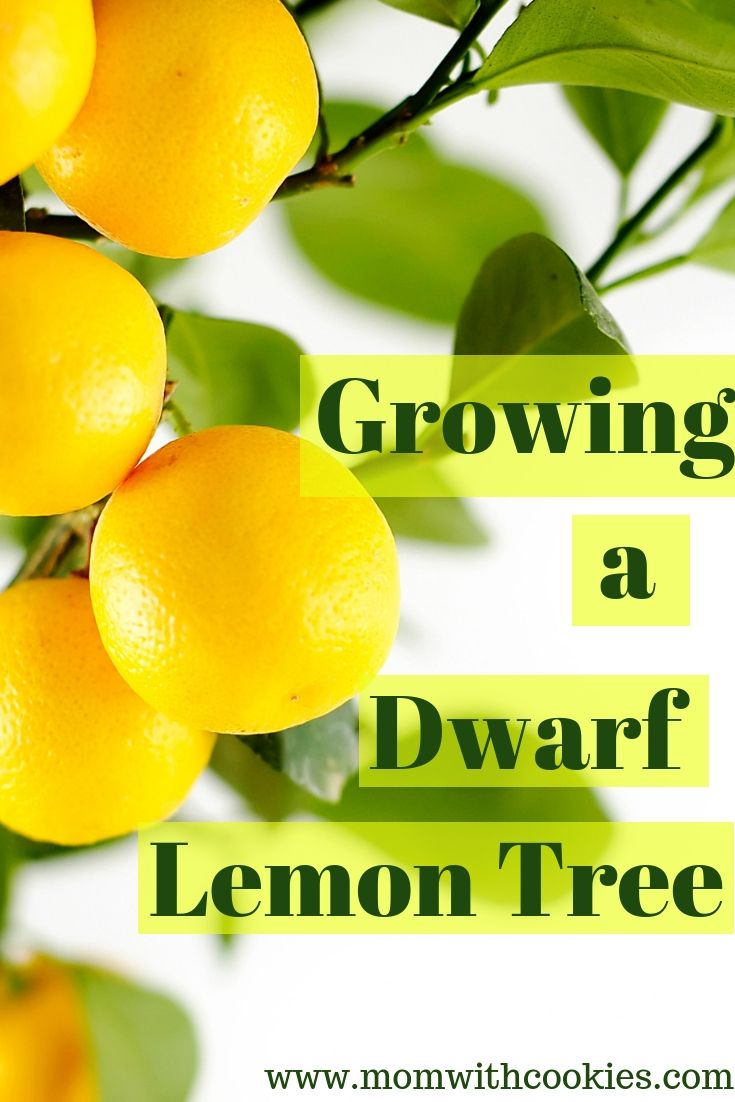 Growing A Dwarf Lemon Tree Lemon Tree Potted Dwarf Lemon Tree Lemon Tree From Seed