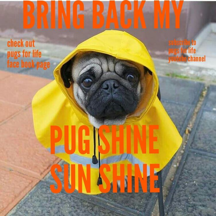 When it rains it pours pugs.... #pugs #dogs #retweet #pug #follow #like #puglife #dog #aww #funny #fun #cute #lol #pugchat #Pugs #humor