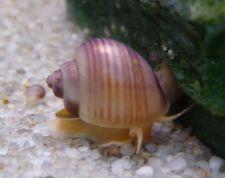 Peppermint Mystery Snail for Fresh Water Aquarium