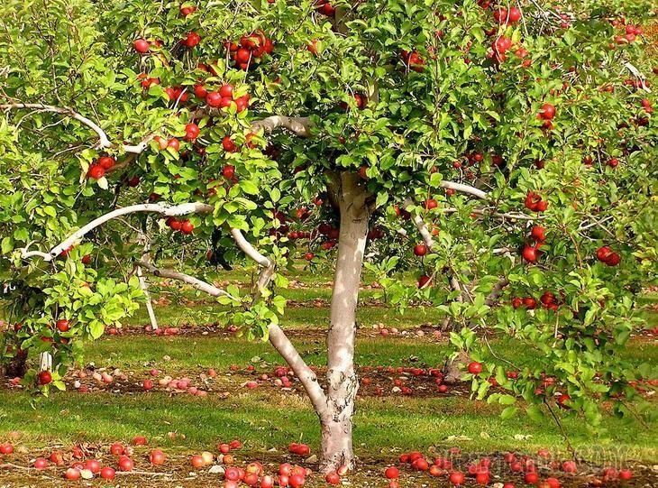 Удобряем правильно плодовые деревья