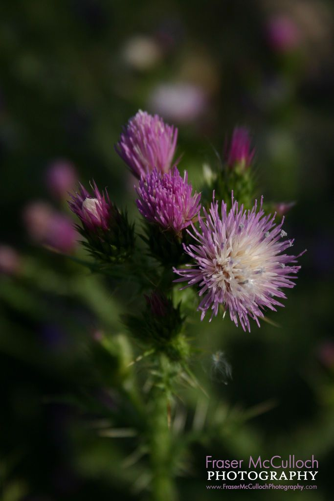 A beautiful but menacing thistle...Scotland's national emblem.  To see this, or the rest of my stock portfolio, see: http://www.dreamstime.com/stock-photography-image40788969#res7680250  #flowerofscotland #thistle #flower #scotland #national #emblem #frasermccullochphotography