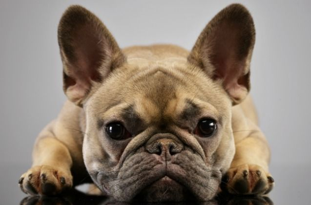 Study French Bulldogs Prone To Health Problems Dog Health