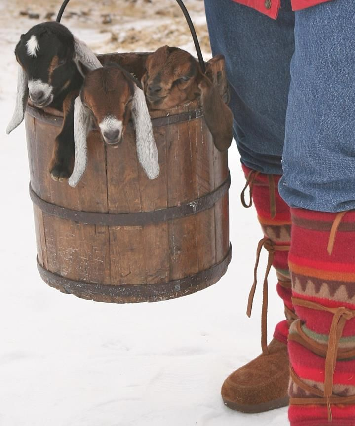 A bucket of goats