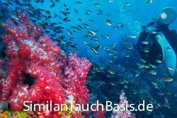 Auf der Richelieu Rock Tauchsafari machst du 15 Tauchgänge am Richelieu Rock, Koh Bon, Koh Tachai und den Similan Inseln. https://www.similandivecenter.com/product/similan-inseln-tauchsafari-mq3