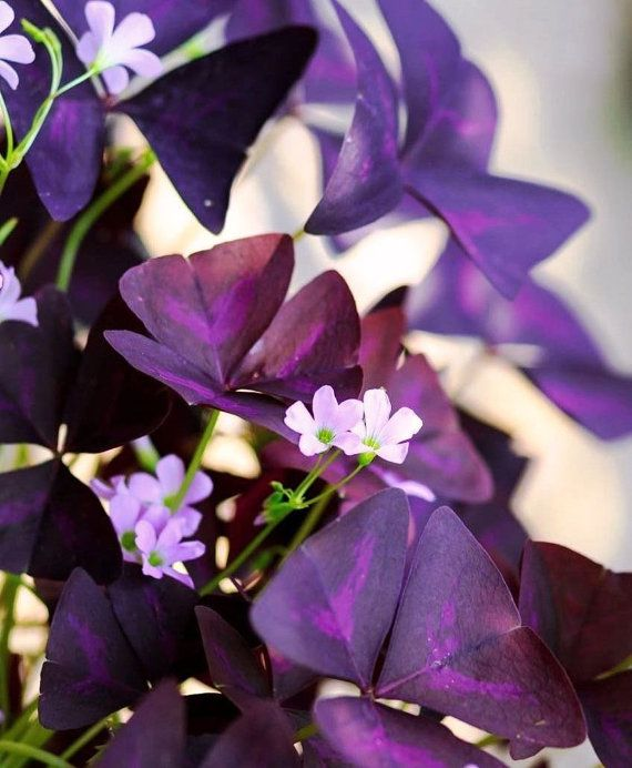 "Lucky Plant Purple Shamrock, Love Plant, Purple Oxalis Triangularis - Live starter plants actively growing in 2.5"" inch container"