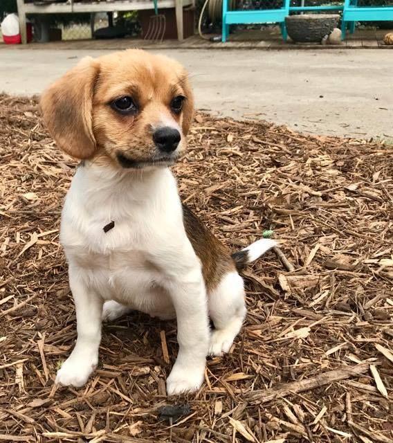 Adopt Juliet On Petfinder Adoptable Beagle Beagle Beagle Mix