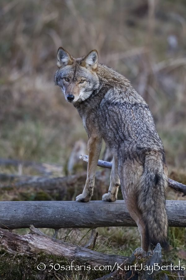 Coyote In My Backyard Home Design Ideas