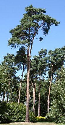 Vascular plant - Wikipedia, the free encyclopedia