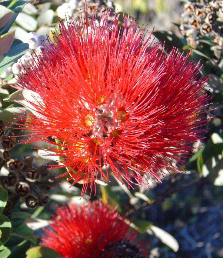 USA, Metrosideros polymorpha flower, (Ohia), Big Island, Hawaii