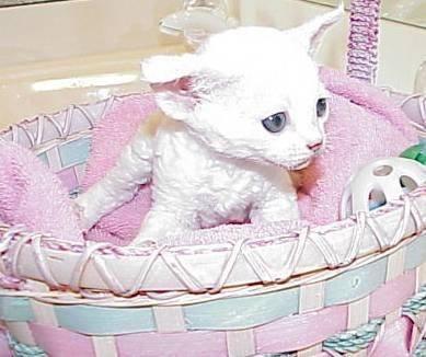 Adoraelves Cattery  - Devon Rex.  Reminds me of a little lamb!