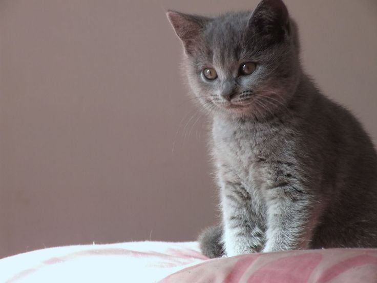 Chartreux Cat Club UK: Chartreux Kittens & Chatreux Breeders UK