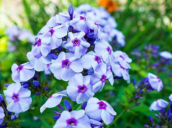 Phlox Blue Boy With Images Flower Garden Plans Backyard