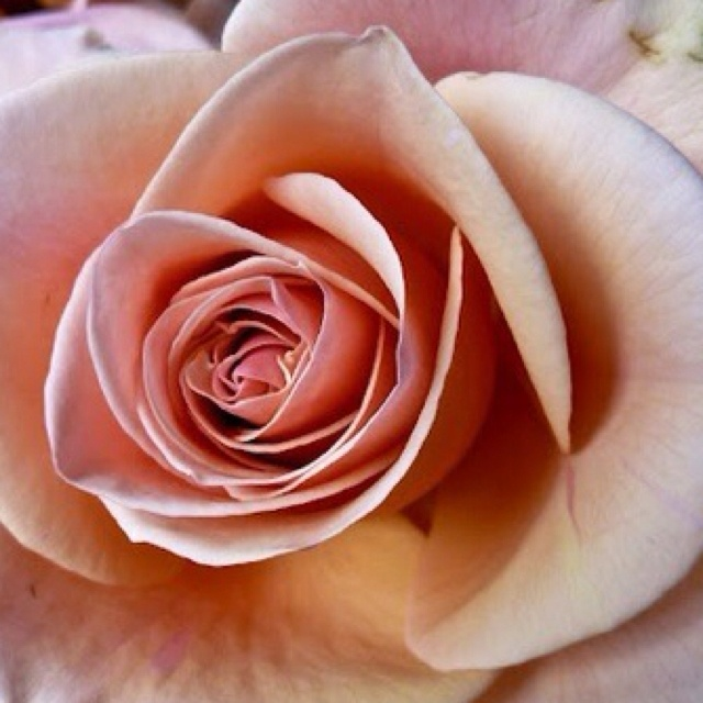I Love Blush Roses My Style Pinterest Roses