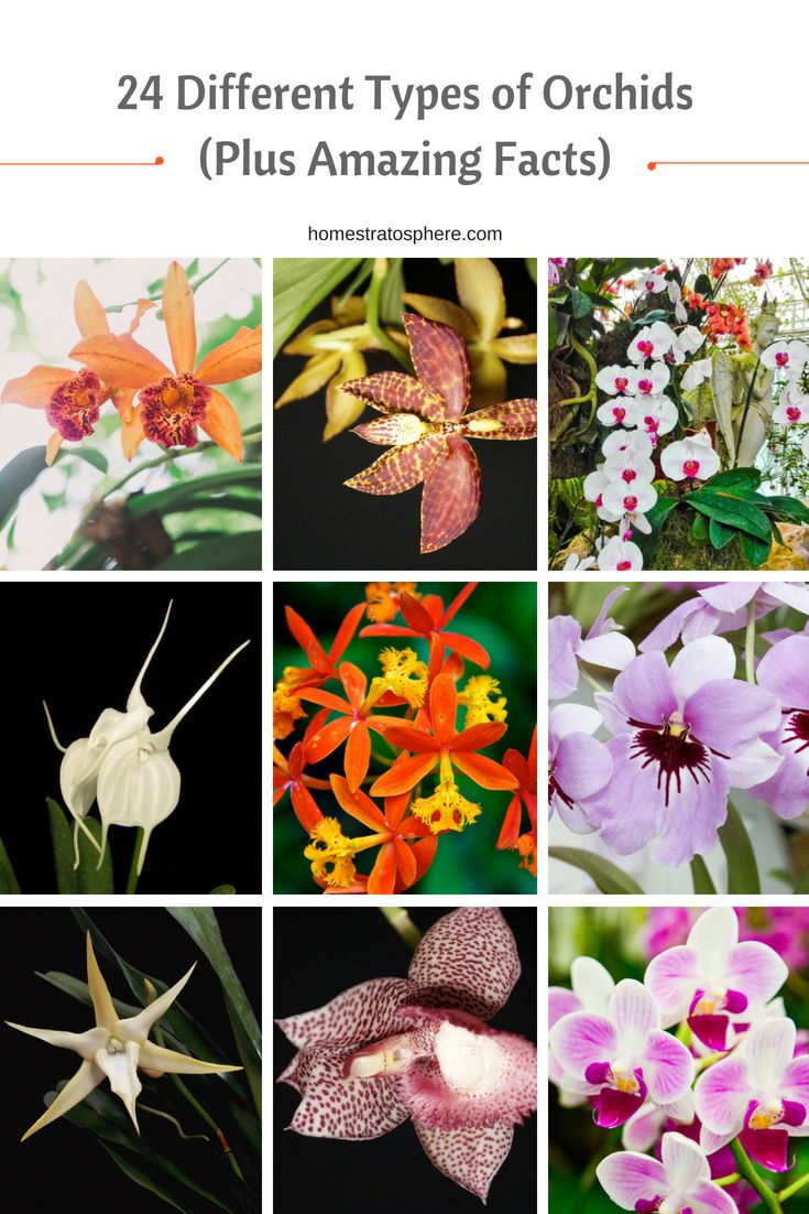 24 Different Types Of Orchids Plus Amazing Facts Types Of Orchids Orchids Beautiful Orchids